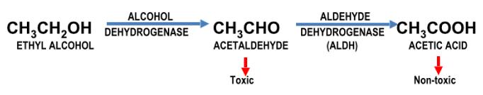 steps to metabolize ethyl alcohol